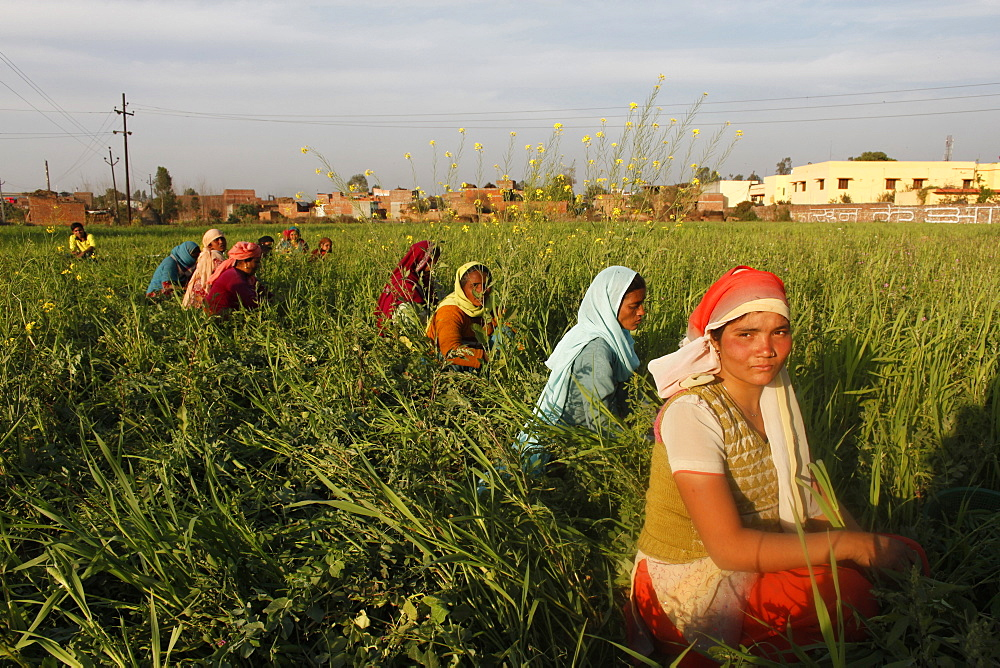 Women harvesting beans, Uttar Pradesh, India, Asia