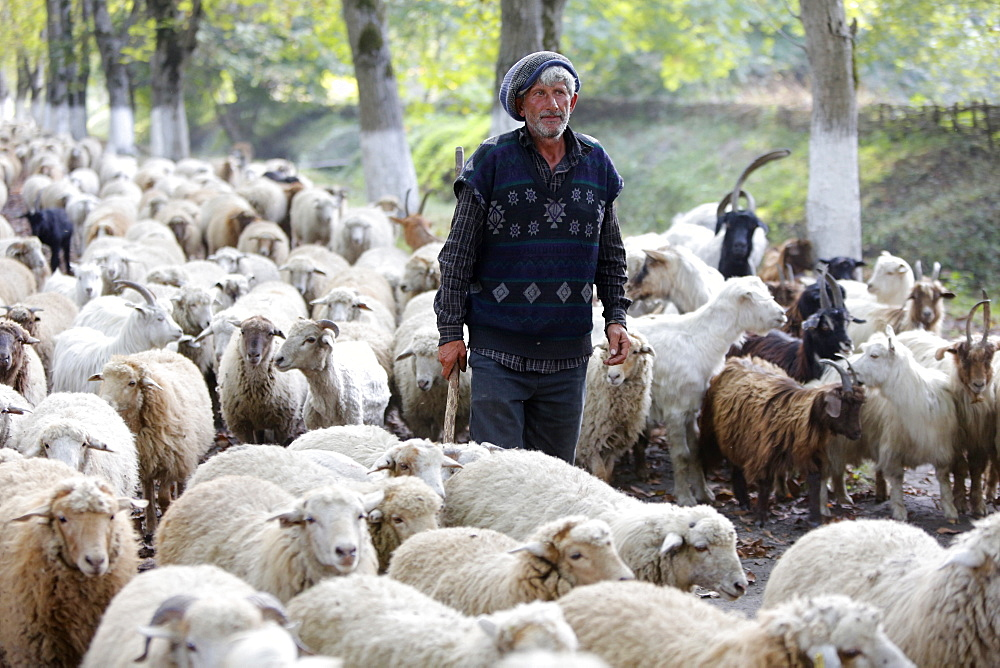Shepherd and flock in Sheki province, Azerbaijan, Central Asia, Asia