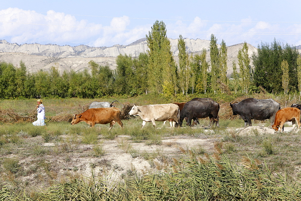 Azeri farmer driving cattle, Goechay, Azerbaijan, Central Asia, Asia