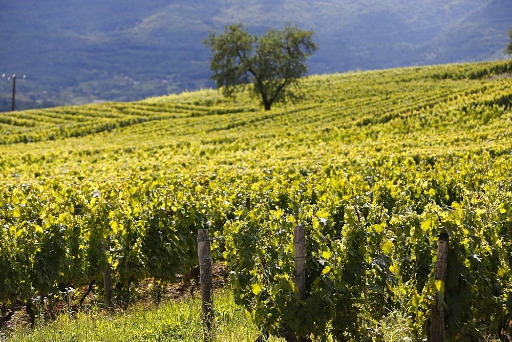 Chignin vineyard in Savoie, France, Europe