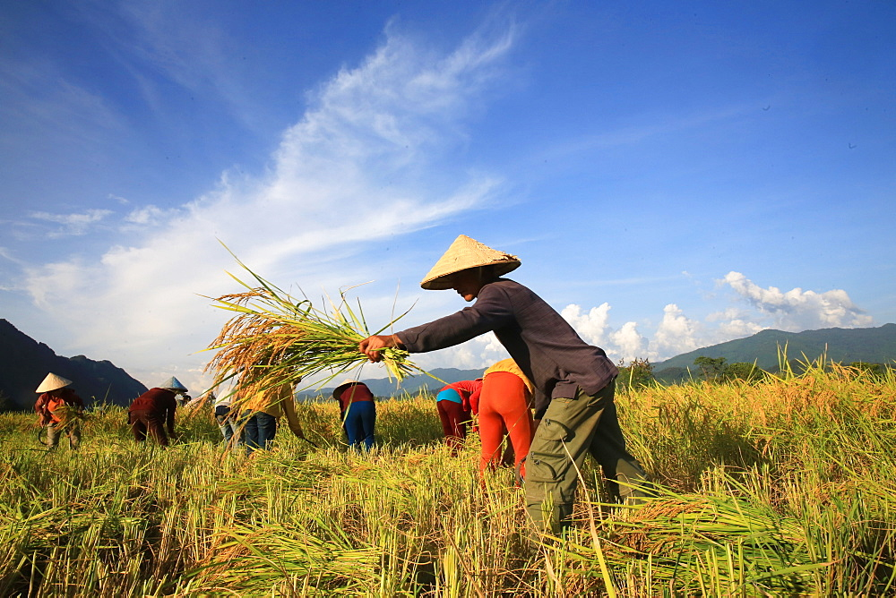 Farmers working in rice fields in rural landscape, Laos, Indochina, Southeast Asia, Asia