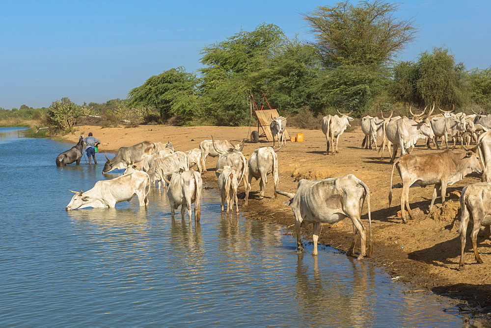 Herd of zebus drinking river water, Senegal, West Africa, Africa