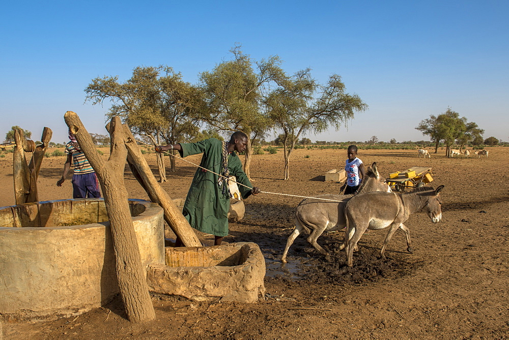 Peul cattle herder using donkeys to fetch water from a well, Senegal, West Africa, Africa