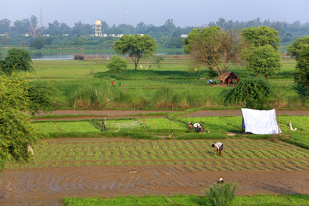Vegetable farming in Rawal, Uttar Pradesh, India, Asia