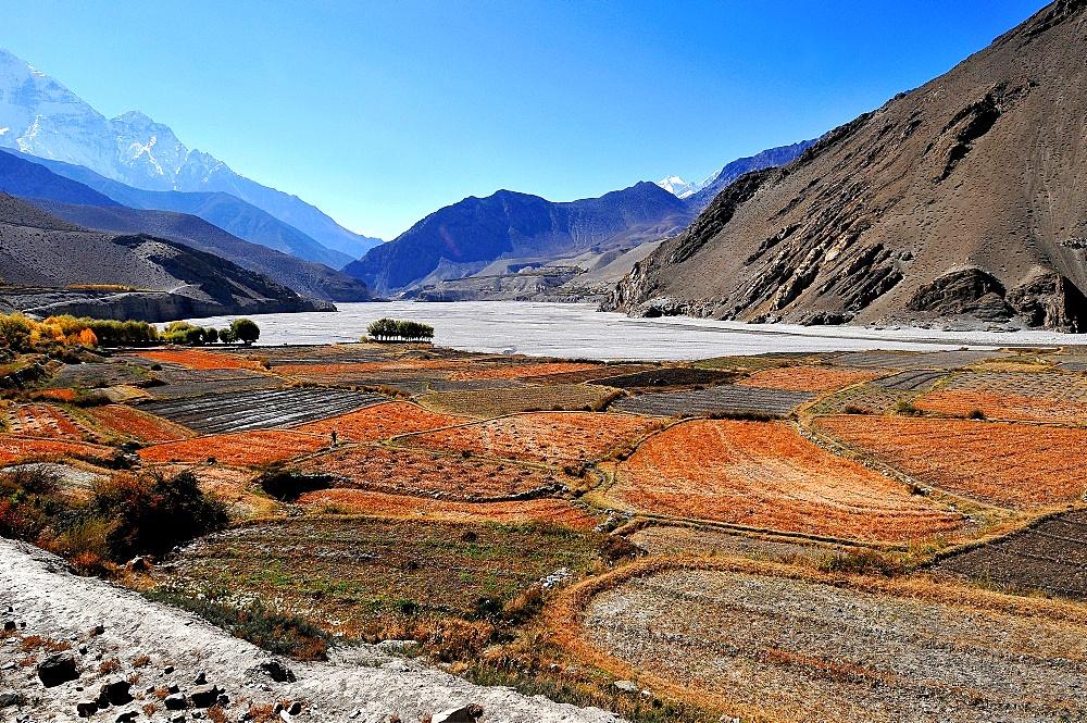 Terraced barley fields near Kagbeni, Mustang, Nepal, Himalayas, Asia - 809-7293
