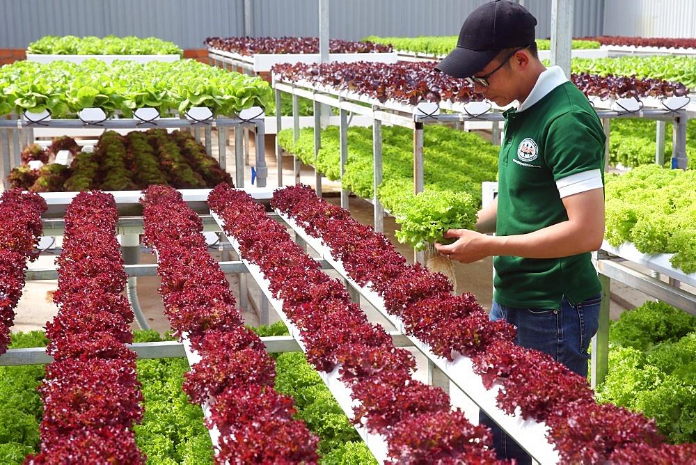 Organic hydroponic vegetable farm. Young man growing organic lettuces. Dalat. Vietnam.