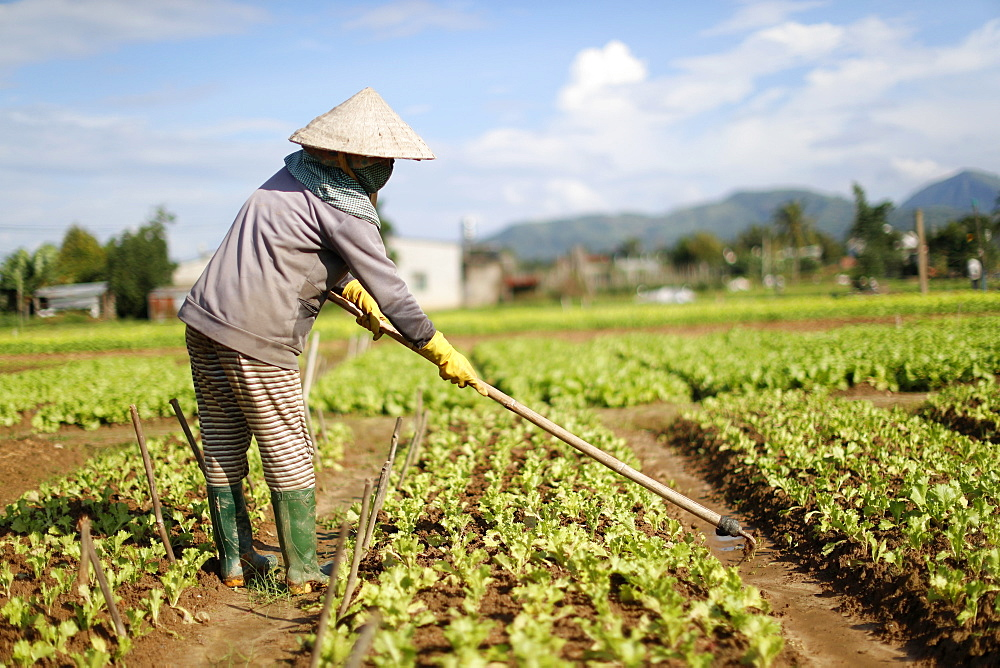 Vietnamese woman working in a lettuce field, Kon Tum, Vietnam, Indochina, Southeast Asia, Asia - 809-7312