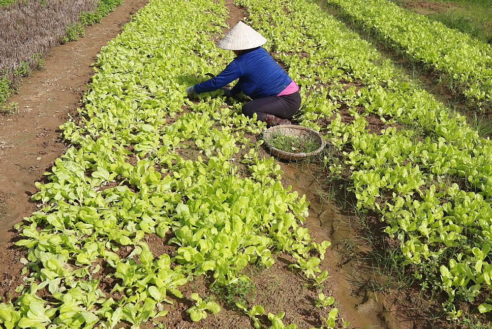 Vietnamese woman working in a lettuce field, Kon Tum, Vietnam, Indochina, Southeast Asia, Asia
