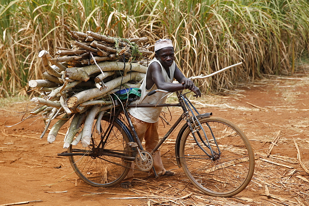 Wood transportation on a bicycle. Uganda
