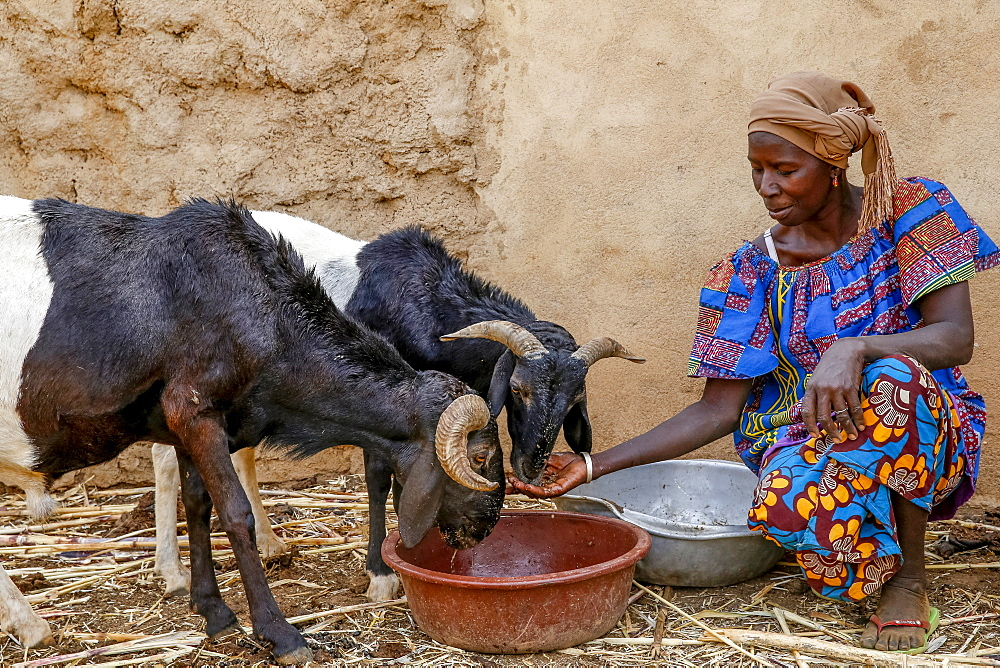 Cattle breeder Animata Guiro, UBTEC NGO in a village near Ouahigouya, Burkina Faso, West Africa, Africa