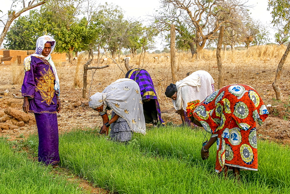 Members of a cooperative at work in a vegetable garden, UBTEC NGO in a village near Ouahigouya, Burkina Faso, West Africa, Africa