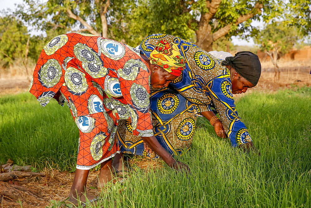 UBTEC NGO in a village near Ouahigouya, Burkina Faso. Members of a cooperative at work in a vegetable garden.