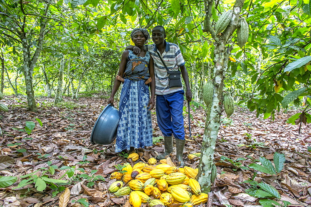 Farmer harvesting cocoa (cacao) with his wife, Ivory Coast, West Africa, Africa