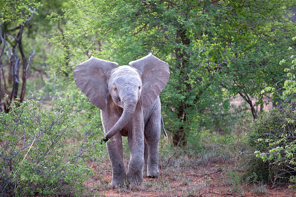 African Baby Elephant (Loxodonta africana), Keer-Keer, South Africa, Africa - 809-7350