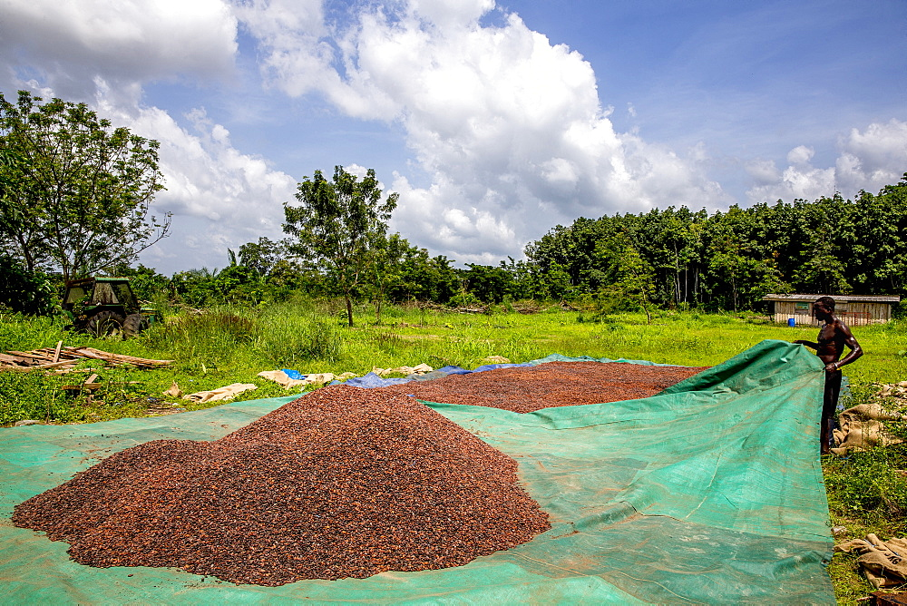 Cocoa bean drying in Agboville, Ivory Coast.