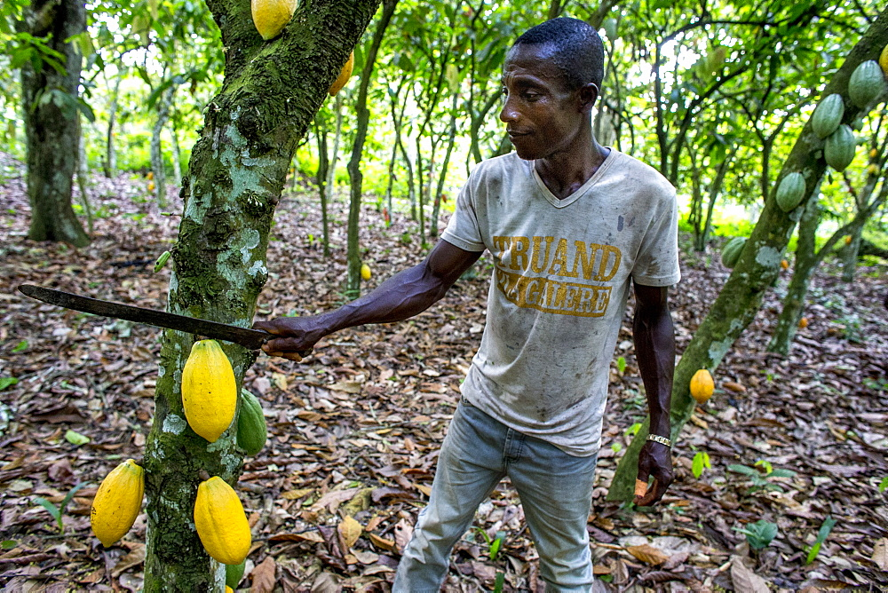 Cocoa harvest in a plantation near Agboville, Ivory Coast, West Africa, Africa