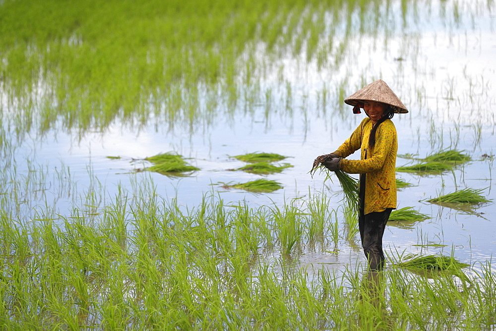 Woman farmer working in a rice field transplanting rice in the Mekong Delta, Can Tho, Vietnam, Indochina, Southeast Asia, Asia - 809-7645