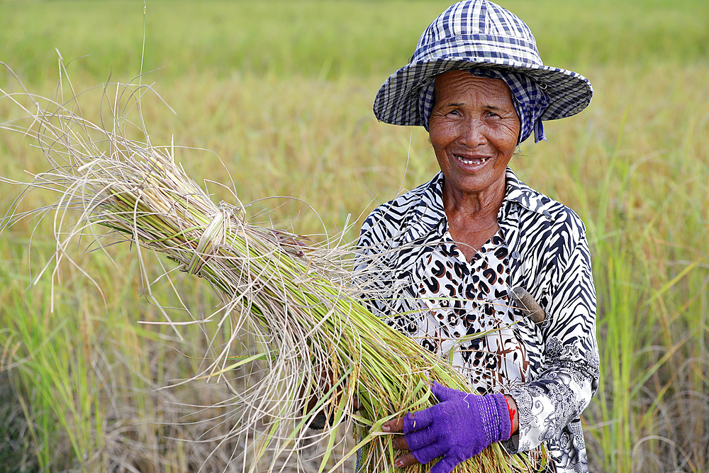 Elderly woman working in rice field. Rice harvest. Kep. Cambodia.