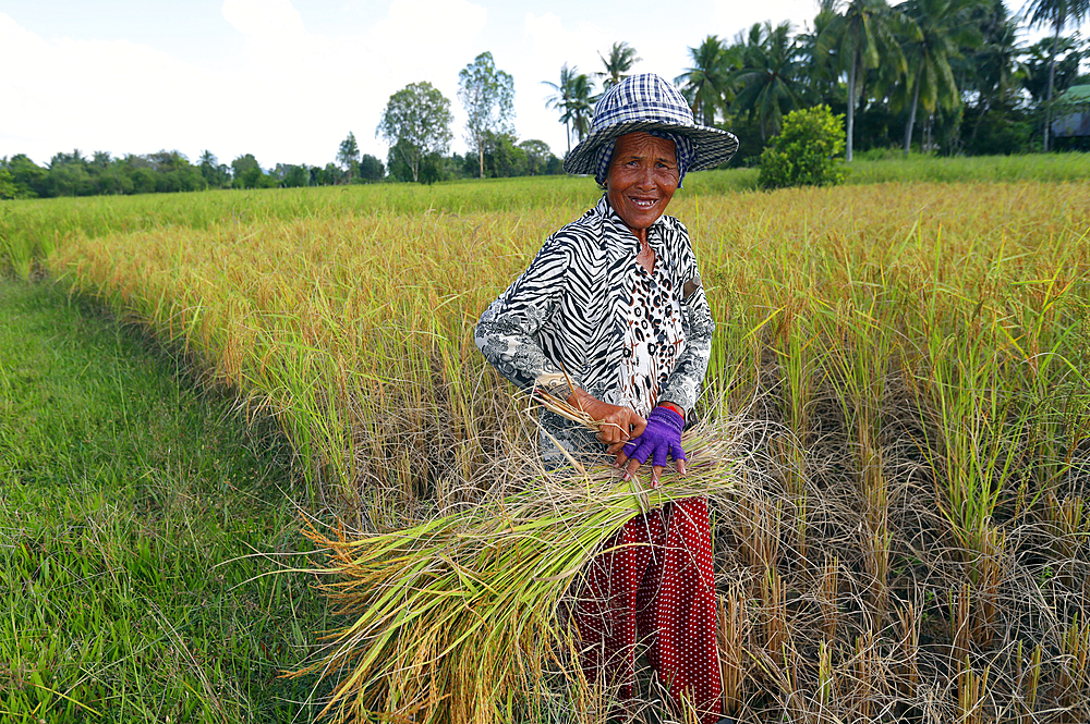 Elderly woman working in rice field harvesting rice, Kep, Cambodia, Indochina, Southeast Asia, Asia