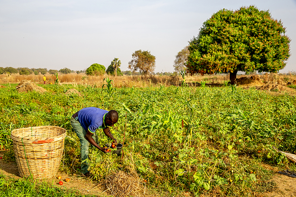 Microfinance client harvesting tomatoes in Namong, Tone district, Togo, West Africa, Africa