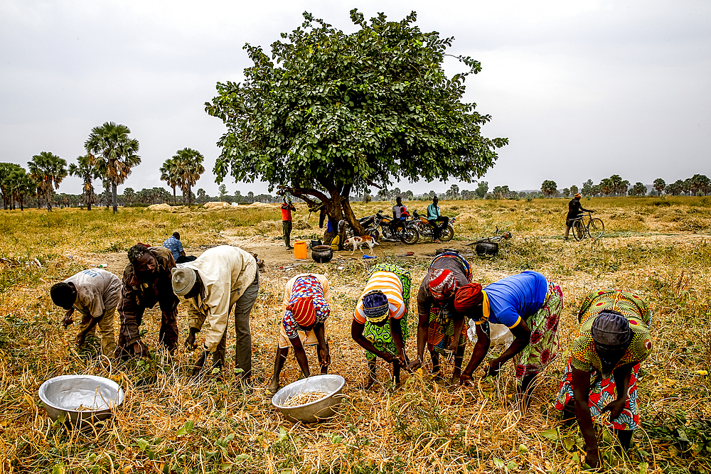 Bean harvest in Djibomben village, North Togo.