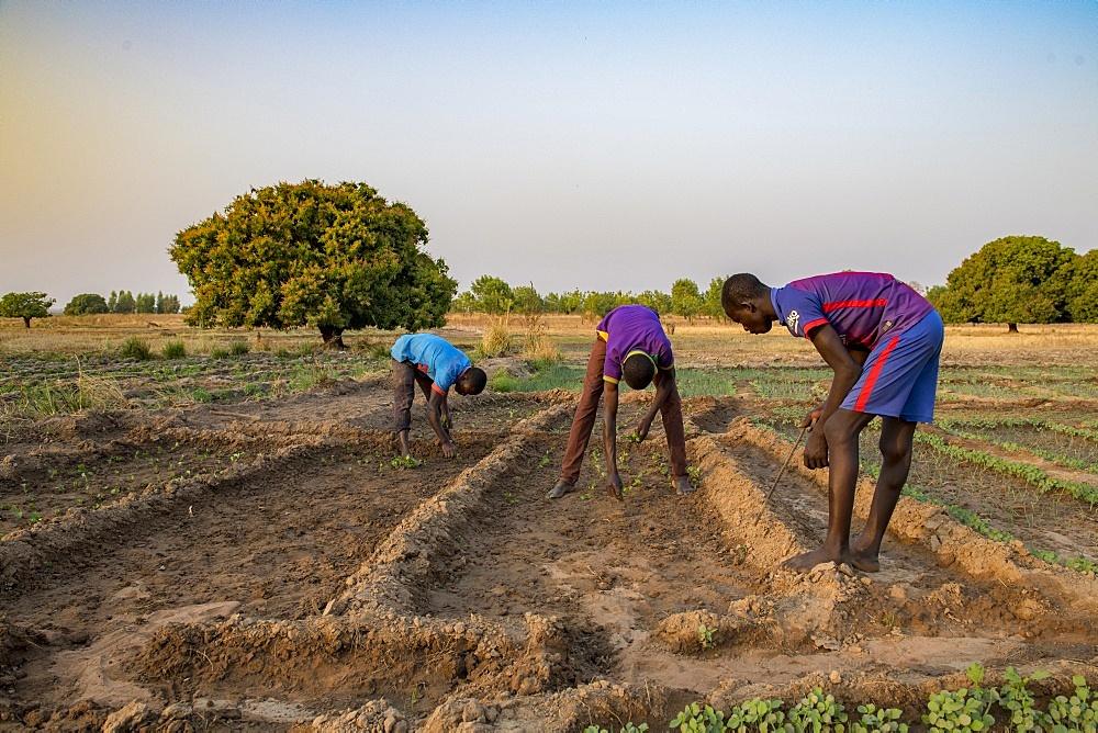 Market farming in Savanes province, Togo, West Africa, Africa