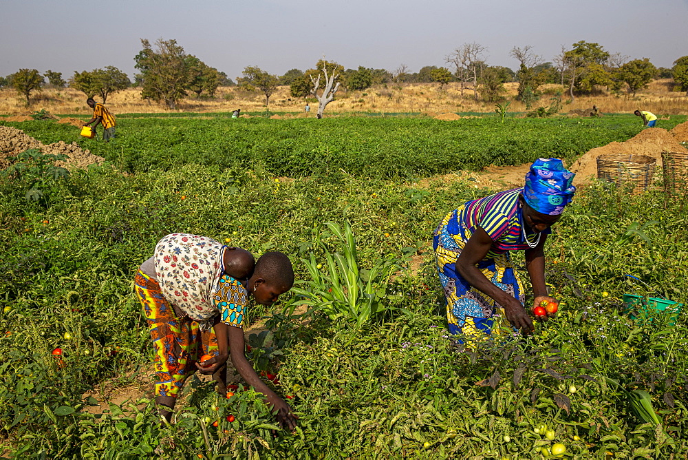 Girl and woman picking tomatoes in Namong, Togo, West Africa, Africa - 809-7841