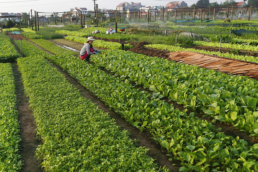 Organic vegetable gardens in Tra Que Village, Hoi An, Vietnam, Indochina, Southeast Asia, Asia - 809-7868