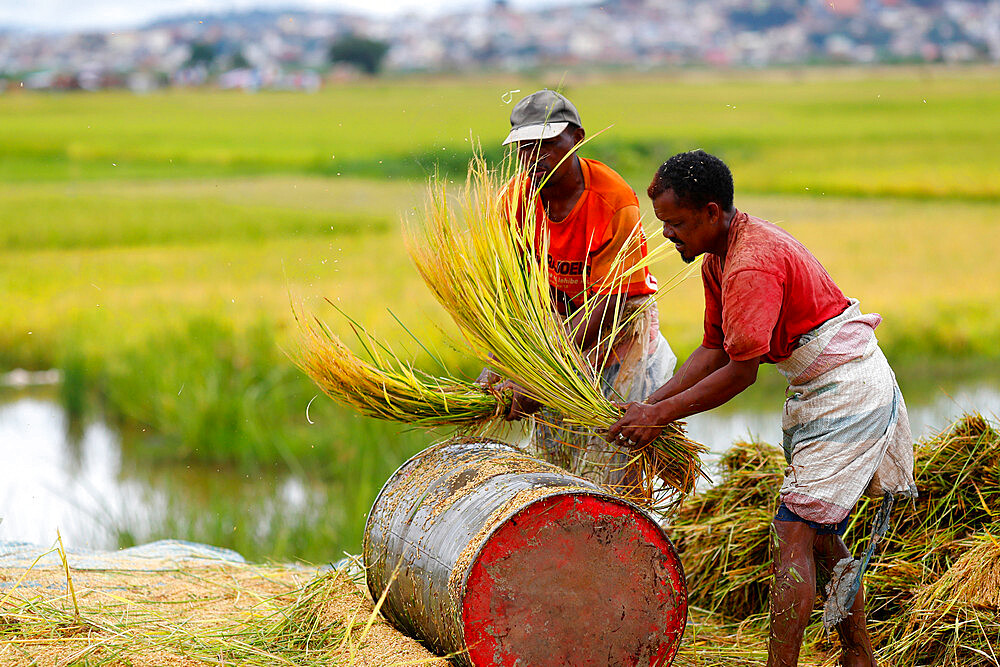Farmers harvest and thresh by hand in rice paddy fields, Antananarivo, Madagascar, Africa