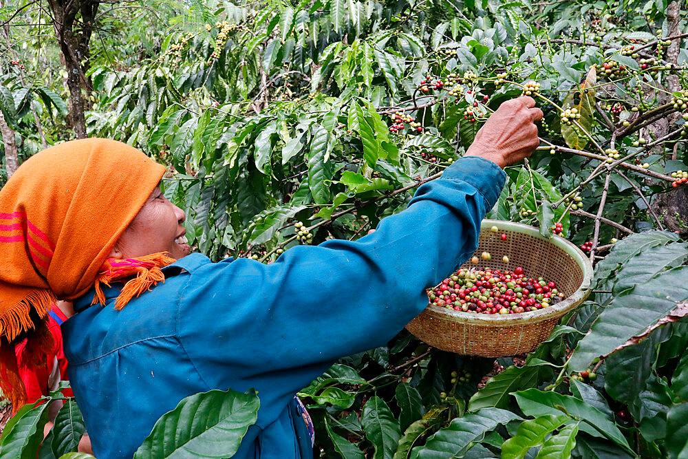 Woman working during the coffee harvest on a coffee plantation, Dak Lak, Vietnam, Indochina, Southeast Asia, Asia