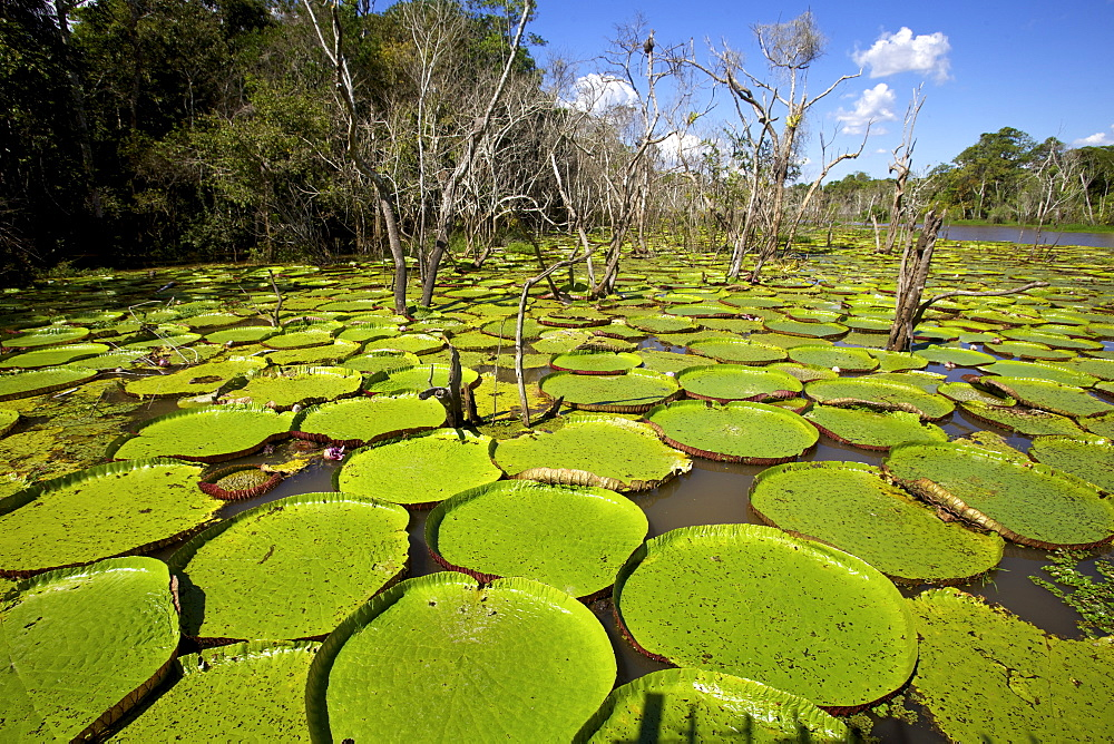 Giant lily leaves and flower in the Amazonian forest, Manaus, Brazil, South America - 814-1354