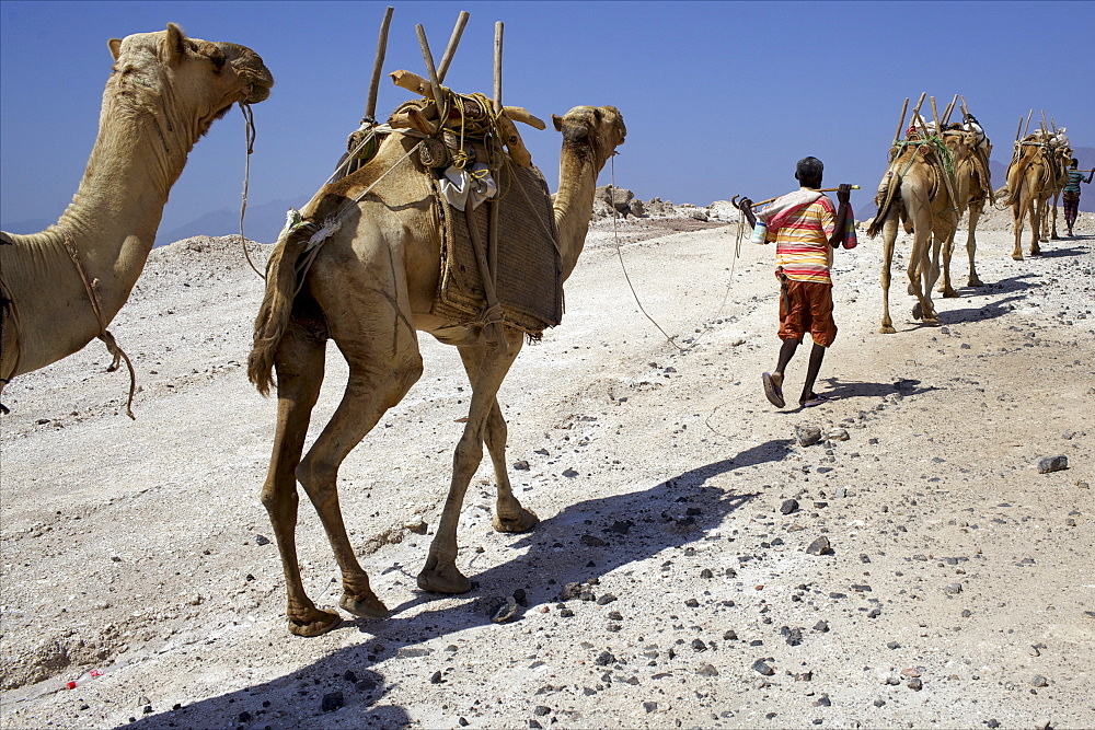 Salt caravan in Djibouti, going from Assal Lake to Ethiopian mountains, Djibouti, Africa - 814-1542