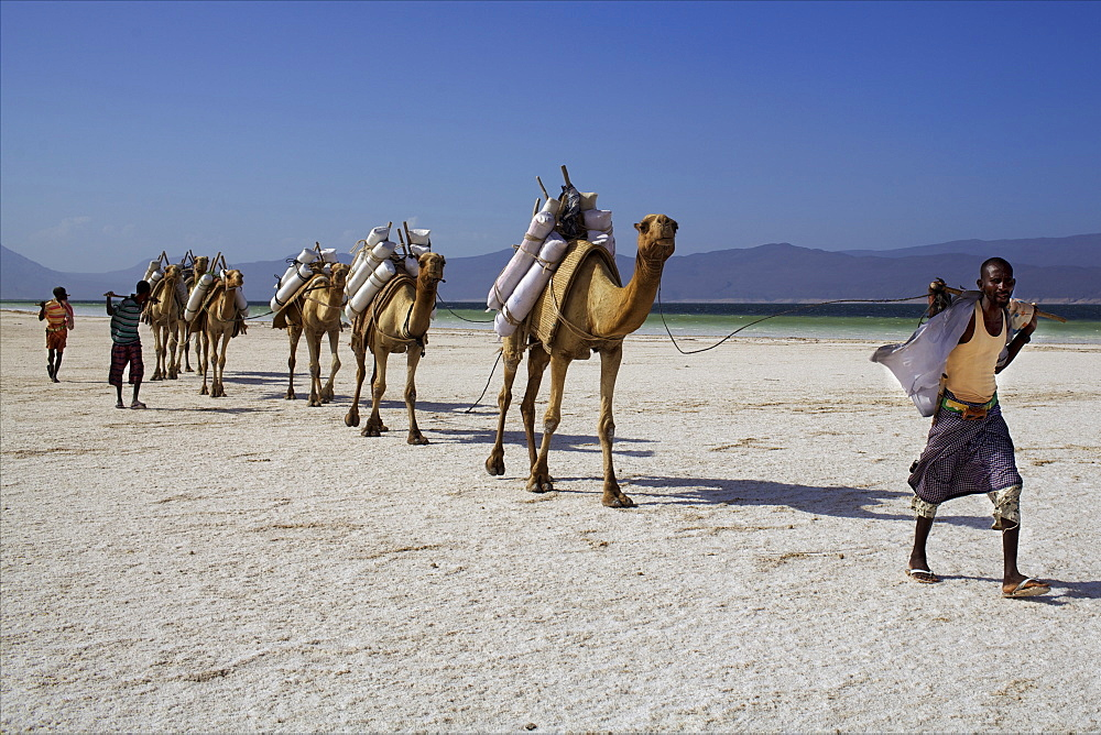 Salt caravan in Djibouti, going from Assal Lake to Ethiopian mountains, Djibouti, Africa - 814-1545
