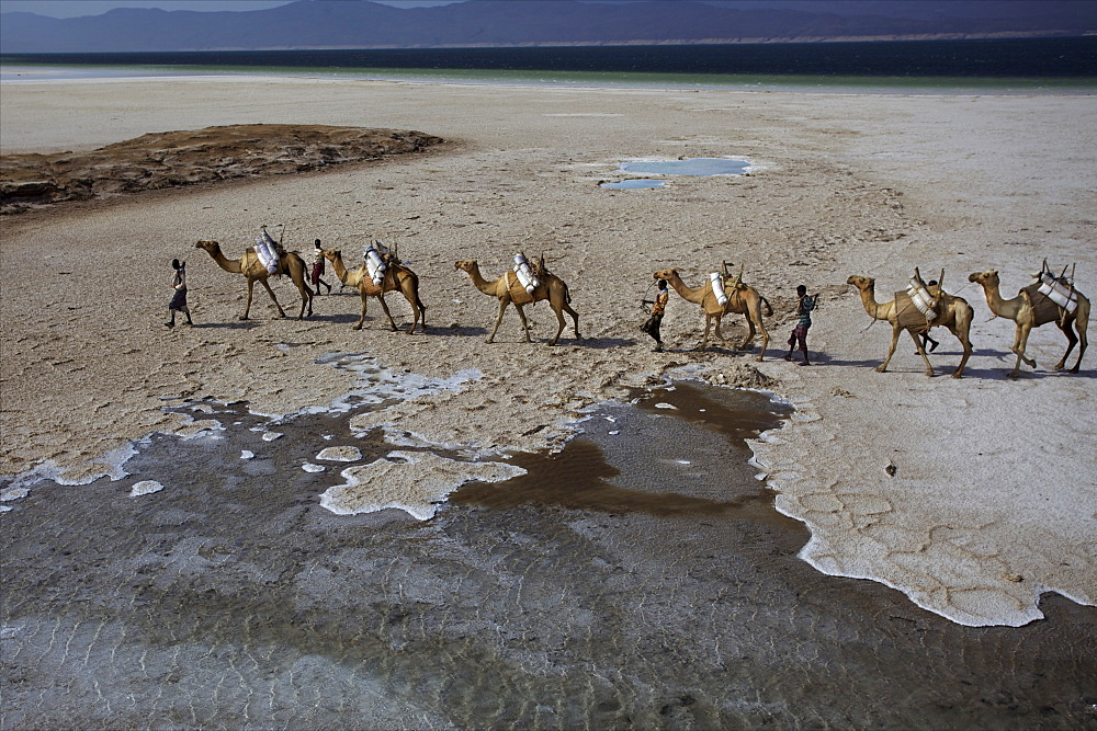 Salt caravan in Djibouti, going from Assal Lake to Ethiopian mountains, Djibouti, Africa  - 814-1546
