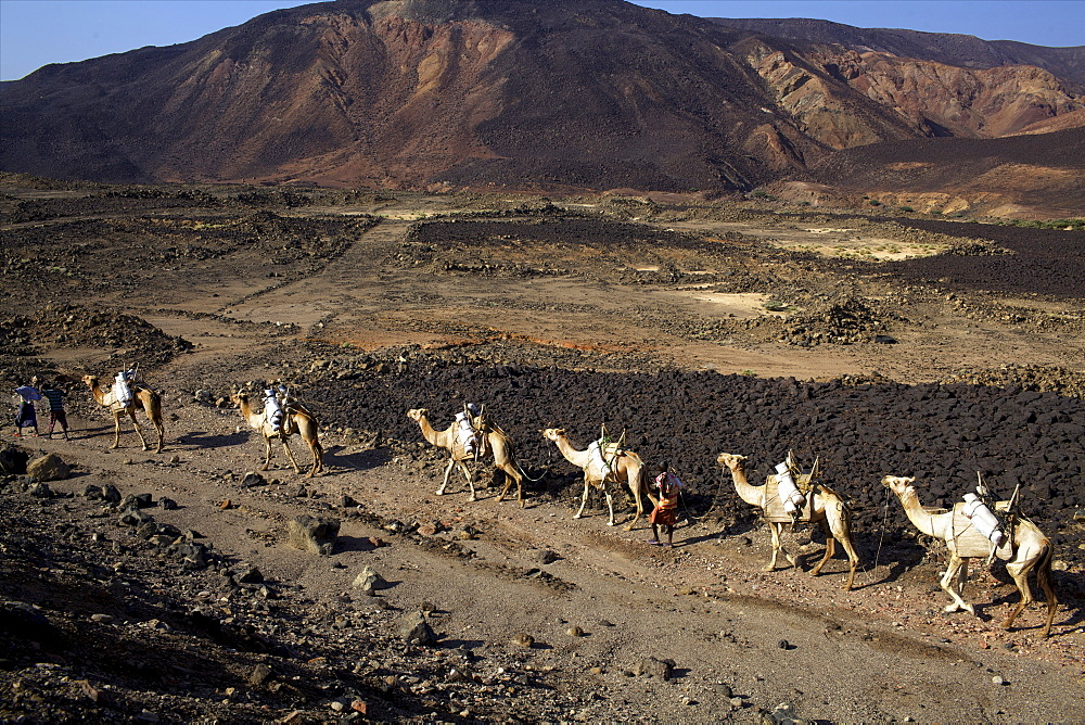 Salt caravan in Djibouti, going from Assal Lake to Ethiopian mountains, Djibouti, Africa  - 814-1548
