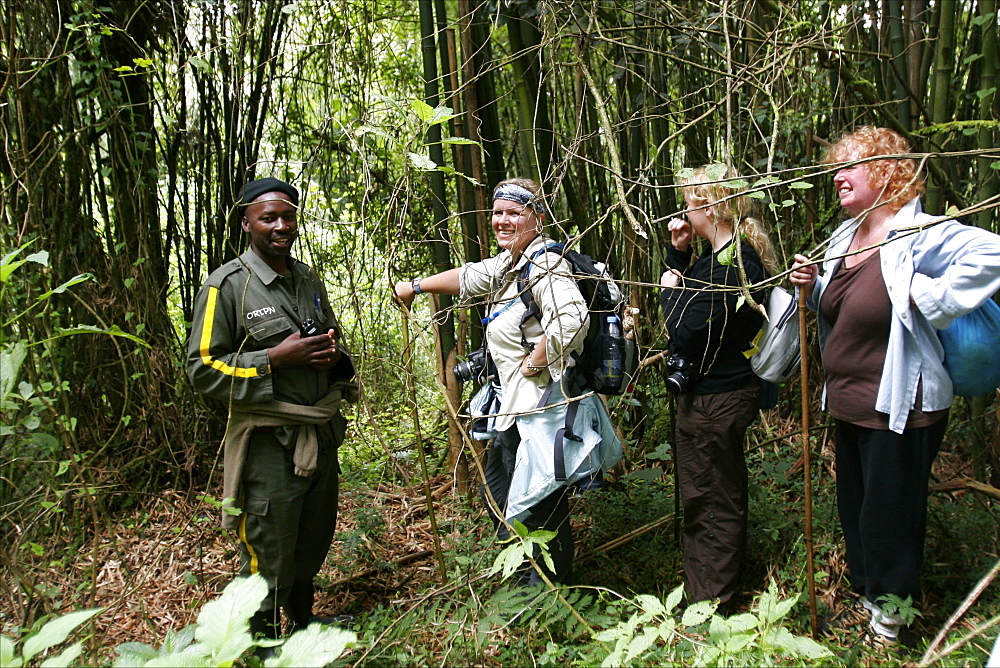 A small group in the forest tracking gorillas in the Virunga mountains, from the small village of Ruhengeri, Rwanda, Africa
