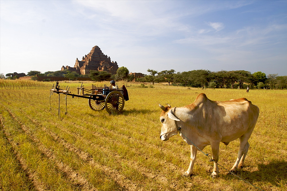 View across farmland to the Bagan temples, Myanmar (Burma), Asia