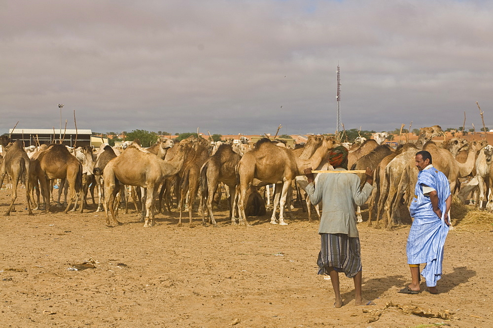 Men trading camels at the camel market, Nouakchott, Mauritania, Africa