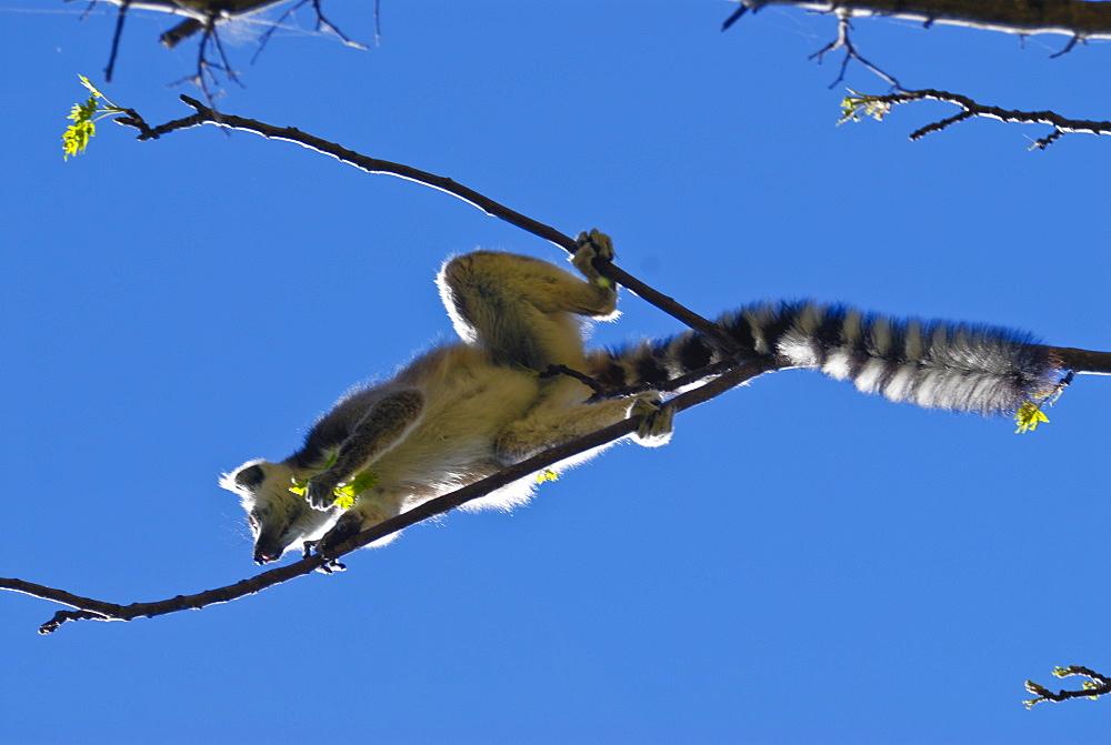 Ring-tailed lemur (Lemur catta), Isalo National Park, Madagascar, Africa