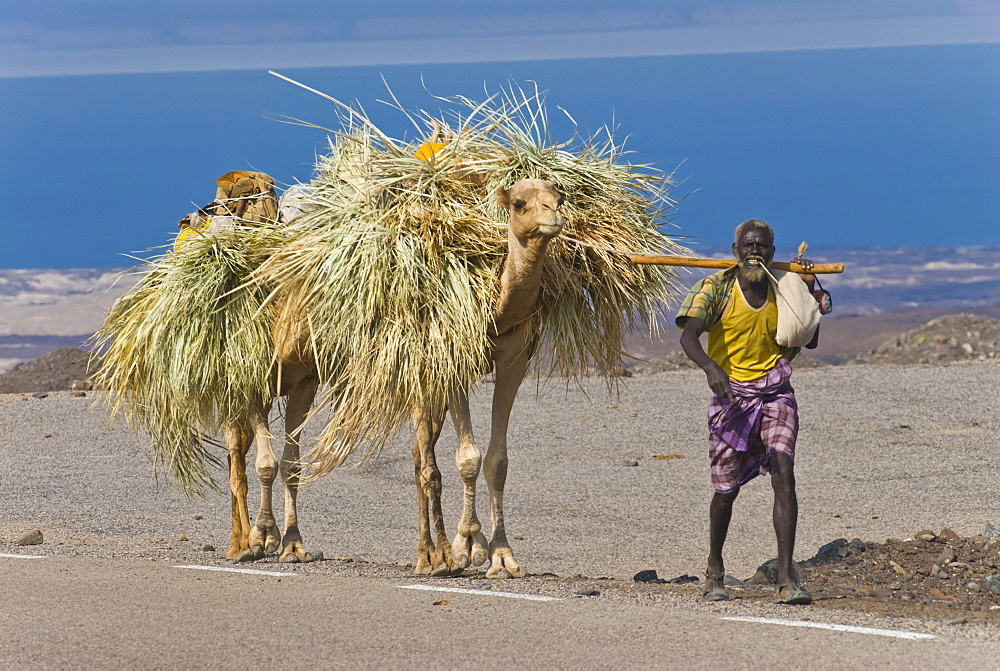 Afar tribesman with his camels on his way home, Tadjoura, Republic of Djibouti, Africa