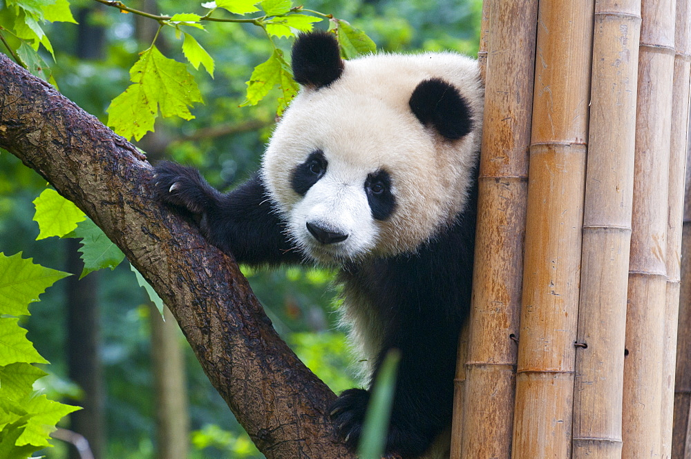 Giant panda (Ailuropoda melanoleuca) at the Panda Bear reserve, Chengdu, Sichuan, China, Asia - 816-2447