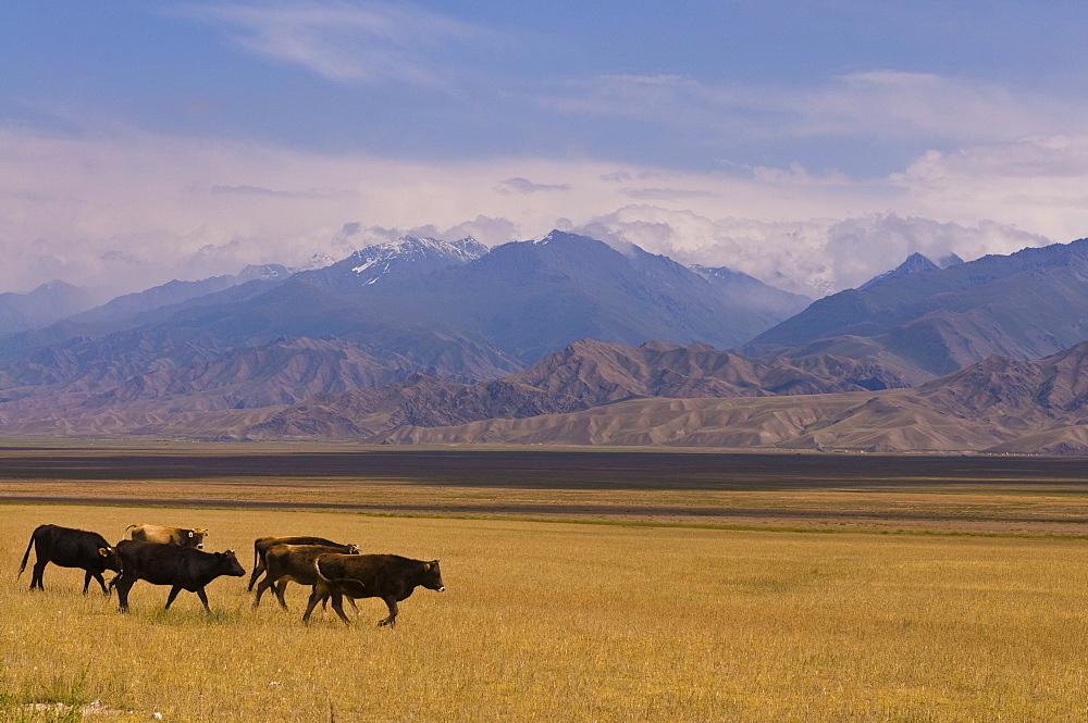 Cattle walking through pastureland, mountains in background Torugart Pass, Kyrgyzstan, Central Asia