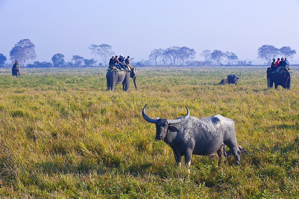 Tourists on a elephant watching Asian water buffalo (Bubalus bubalis), Kaziranga National Park, UNESCO World Heritage Site, Assam, Northeast India, India, Asia