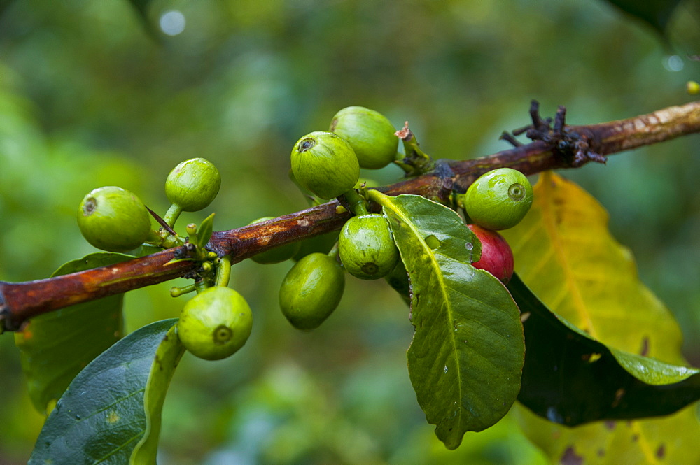 Coffee beans, Highlands, Papua New Guinea, Pacific