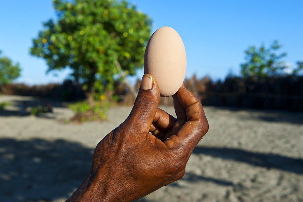Megapode egg, Savo island, Solomon Islands, Pacific