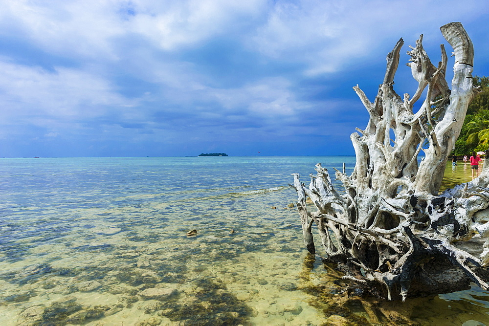 Dead tree at Micro beach in Garapan, Saipan, Northern Marianas, Central Pacific, Pacific