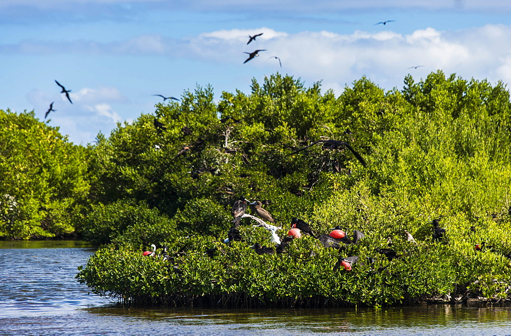 Frigate bird colony in the Codrington lagoon, Barbuda, Antigua and Barbuda, West Indies, Caribbean, Central America