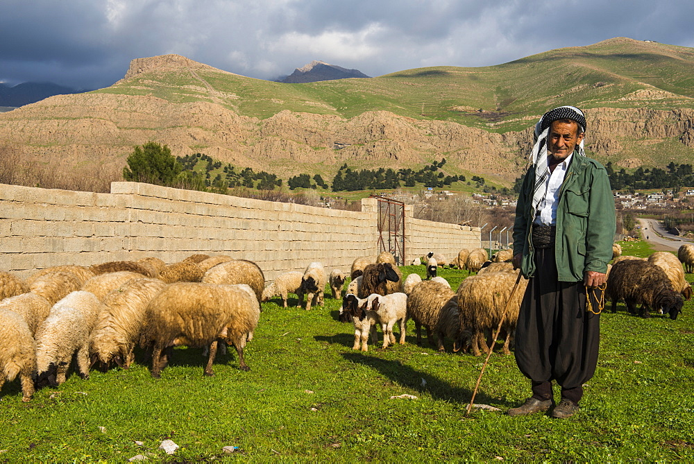 Shepherd with his herd of sheep in Ahmedawa on the border of Iran, Iraq Kurdistan, Iraq, Middle East
