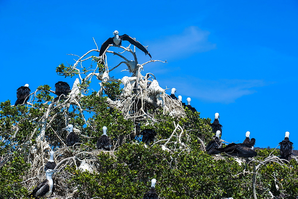 Frigate birds colony at Isla Espiritu Santo, Baja California, Mexico, North America