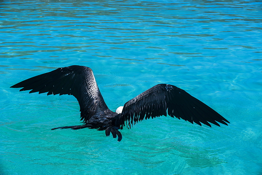Frigate bird and turquoise waters of Isla Espiritu Santo, Baja California, Mexico, North America